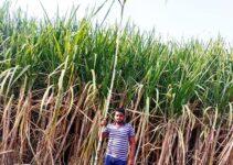 Us Lagwad Sugarcane Fertilization |उसाची लागवड